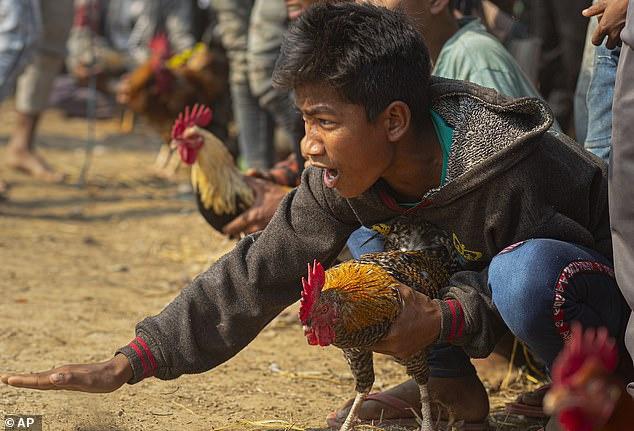 黑帽seo排_印度男子旁观斗鸡竞赛 不意被鸡身上刀片刺伤身亡