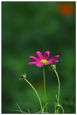 《野花》拼音/读音/英语/繁体字 词语大全