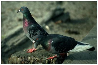 野鸽的拼音_野鸽的读音_野鸽的英文 - 词语野鸽