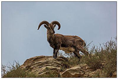 岩羊的拼音_岩羊的读音_岩羊的英文 - 词语岩羊