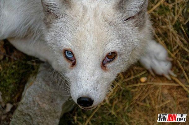 北极狐的12大生活习性:最长寿命可达15年