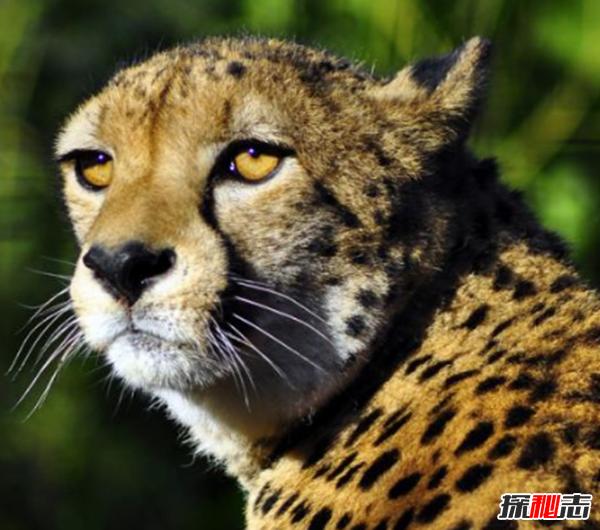 猎豹为什么跑得那么快?关于猎豹的十大有趣习性
