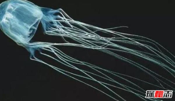 被认为最致命的水母:可致人体器官全部衰竭(两分钟内)