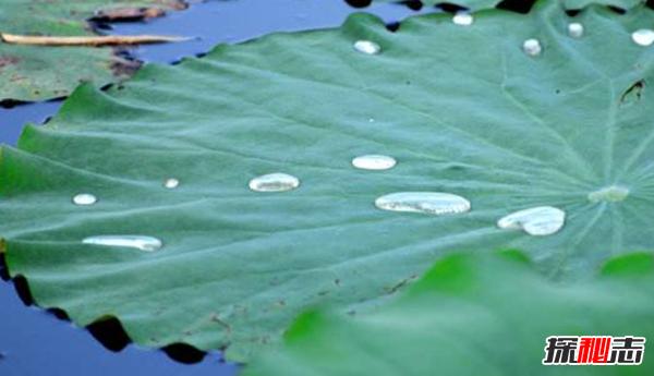 荷叶不湿的秘密:荷叶的防水和自洁之谜