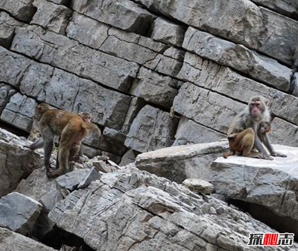 三峡中猿鸣的作用?揭三峡猿啼之谜